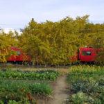 イチョウ並木と銀杏