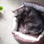 猫の緑内障-2